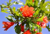 stock photo of grenades  - bright red flowers on branch blooming pomegranate tree as a natural background - JPG