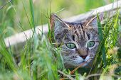 picture of grassland  - cat in grass - JPG