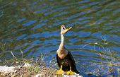 Anhinga bird eating a fish,Everglades NP,Florida