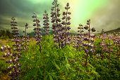Alaskan meadow