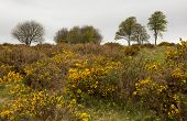 Yellow gorse and beech trees Quantock Hills Somerset UK