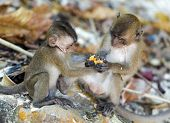 stock photo of phi phi  - Fighting monkey cubs at the Monkey Beach of Phi Phi Island at Thailand - JPG