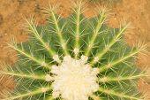 Golden ball cactus / Echinocactus grusonii