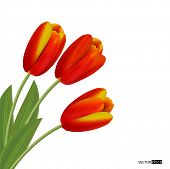 Three  tulips isolated on white background. Vector illustration.
