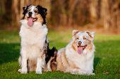 two australian shepherd dogs outdoors