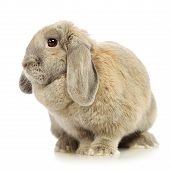 pic of dwarf rabbit  - gray lop - JPG