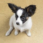 foto of linoleum  - Cute Puppy Papillon sitting on linoleum floor - JPG