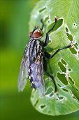 Muscidae Musca Domestica In A Leaf
