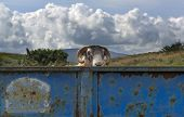 Goat Peers Over Top Of Old Trailer in Rural Scene With Cloudy Sky