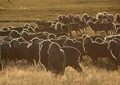 stock photo of oxidation  - A mob of ewes backlit by the sunrise - JPG