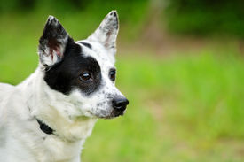 foto of heeler  - Portrait of blue heeler or Australian cattle dog with space for copy - JPG