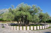 The Old Olive Tree, a symbol of the city of Bar, is the oldest tree in Europe