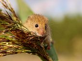 Harvesting Mouse Looking From A Reed Plume