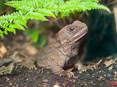 stock photo of tuatara  - Tuatara also called living fossil is a native reptile in new zealand - JPG