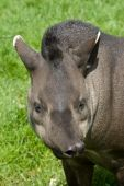 stock photo of tapir  - An image of a brazilian tapir pulling a funny face on a background of lush green grass - JPG