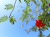 picture of rowan berry  - Autumn red rowan berries on a tree - JPG