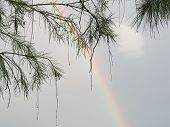 Rainbow and Pine Branches