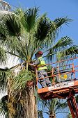 Workman tidying palm tree, Marbella.