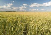 Golden Winter Wheat