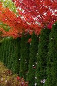 Cedar Hedge And Maple Trees