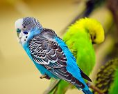 pic of tropical birds  - Colorful blue and white parakeet on tree branch - JPG