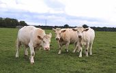 stock photo of cattle breeding  - Charolais cow grazing on pasture in Burgundy - JPG