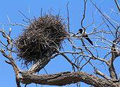 Common Magpie Near Nest On Dry Tree