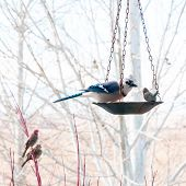 Blue Jay Eating From Bird Feeder