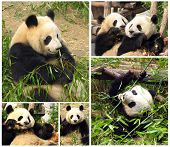 Collage Of Eating Bamboo Giant Pandas