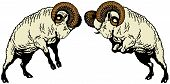 Two Fighting Rams