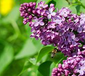 Bee Feeding On Lilac Flowers