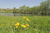 Flowering Dandelions By A Pond