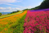 stock photo of lavender field  - Lavender flower field on the hills in Japan  - JPG