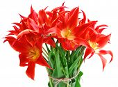 Beautiful red tulips, isolated on white
