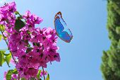 Blue Butterfly And Pink Flowers