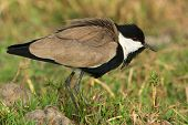 Spur-winged Lapwing (vanellus Spinosus) With Feathers Fluffed