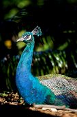 image of indian peafowl  - A male Indian Peafowl (Peacock) resting in vegetation. He is in full sun with head held high and the shiny blue/green of his breast and neck prominent against the background, which is in shade.