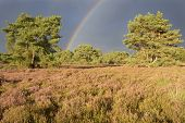 Landscape with heather (Calluna vulgaris) and rainstorm with rainbow.