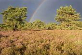 Landscape with heather (Calluna vulgaris) and rainstorm with rainbow.