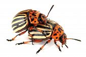 Copulate colorado beetles