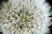 Close up of a dandelion flower