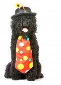 dog clown - barbet wearing clown costume