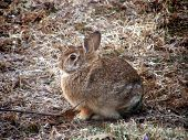 Juvenile New England Cottontail