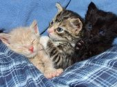 foto of snuggle  - Three different colored kittens with blue eyes snuggled together on blue plaid - JPG