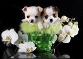 Chihuahua puppies and flowers orchid