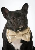french bulldog wearing bowtie