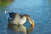 Goose. Blue Lake
