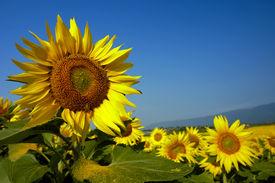 stock photo of mountain-range  - A field of Swiss sunflowers - JPG