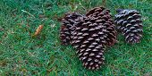 Pine Cones on Right