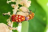 stock photo of coitus  - sex  of shield bug in the garden
